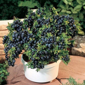 Гаджет  Vegetables and fruit seeds BlueBerry seeds Black pearl Blueberries DIY Countyard Bonsai plants Seeds for home & garden 100 seeds None Дом и Сад