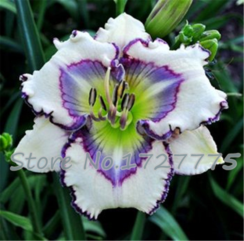Amaryllis seeds, free shipping cheap Amaryllis seeds, Barbados lily potted seed, Bonsai balcony flower - 50 pcs/bag(China (Mainland))