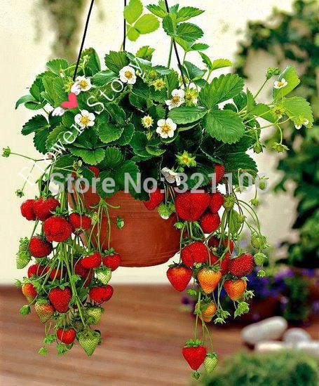 200 Hanging Strawberry Seeds  Real Fresh Seeds Sweet Juicy DIY Home Garden Free Shipping