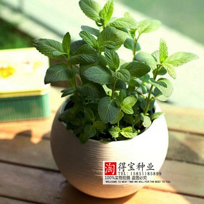 Achetez en gros menthe verte plantes en ligne des for Plantes vertes en ligne