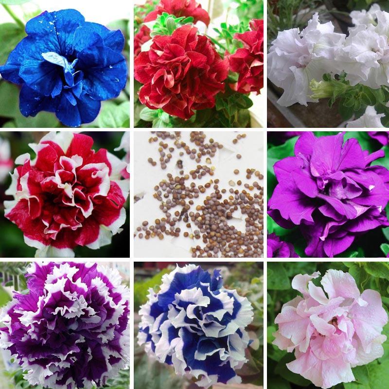 8 species Petunia Seeds Petunias Garden Bonsai Balcony Petunia hybrida Flower Seed A pack 300 pieces(China (Mainland))