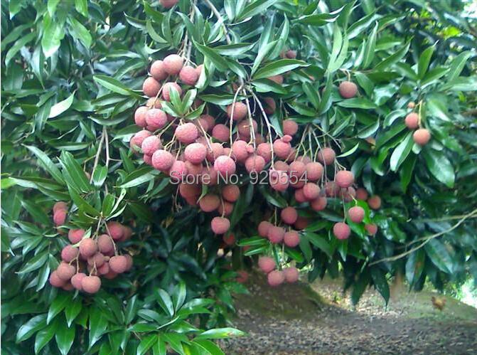 litchi fruit is coconut a fruit