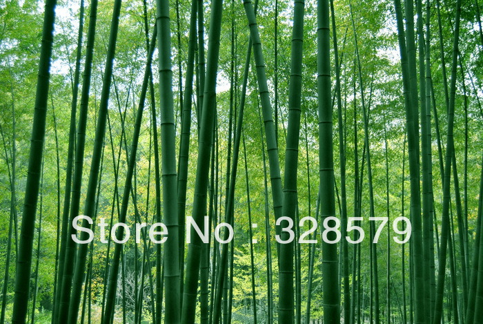 Green Bamboo and Sunshine Printed Film Design#PF-070 from PVC suspend Stretch Ceiling Film System manufacturer,Width is 2.35m(China (Mainland))