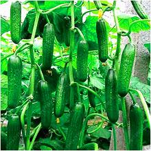 100 семена огурца ОРЛА очень рано, польский разнообразие, для открытого грунта выращивание семян овощей для домашнего сада(China (Mainland))