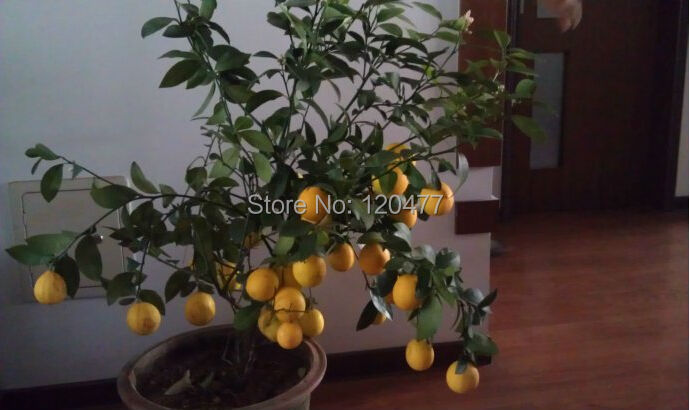100pcs Lemon Tree seeds fruit seeds bonsai plant DIY home garden BONSAI seeds Edible Green Lemon