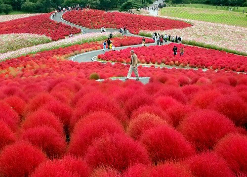 Heirloom 100 Seeds Grass Burning Bush Kochia Scoparia RED Flower Plant Garden Bulk Exotic(China (Mainland))