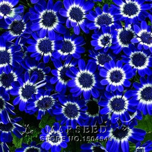 50 Blue Daisy , Blue Cineraria easiest growing flower, hardy plants flower seeds exotic ornamental for garden (China (Mainland))