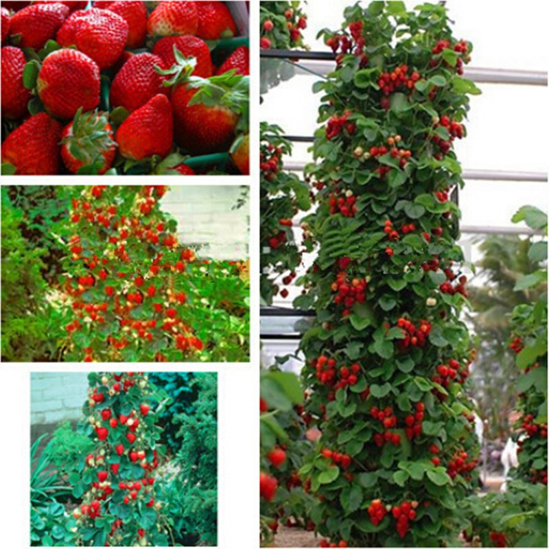 farmer Direct Selling Indoor Plants Strawberry Tree Seeds & Rare Color Strawberry Seed Fruit Seeds for Garden Bonsai 100 seeds(China (Mainland))