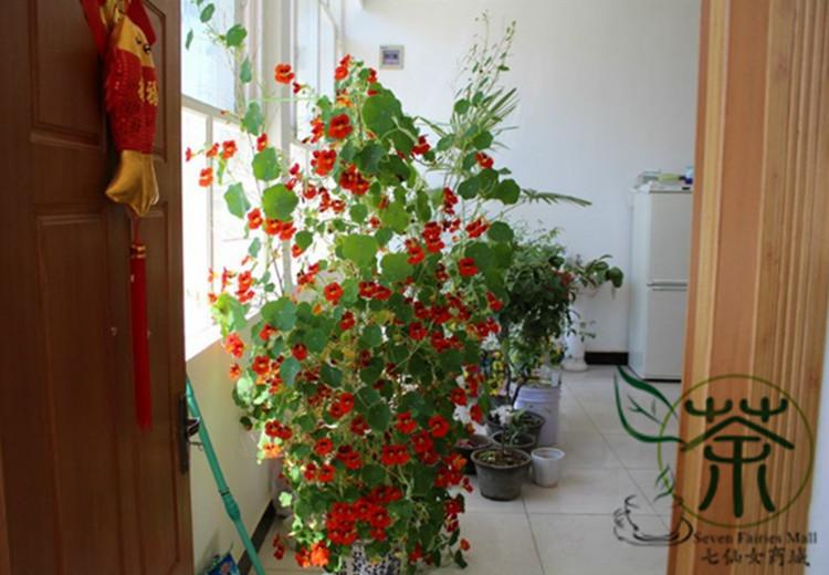 how to grow nasturtium from seeds indoors