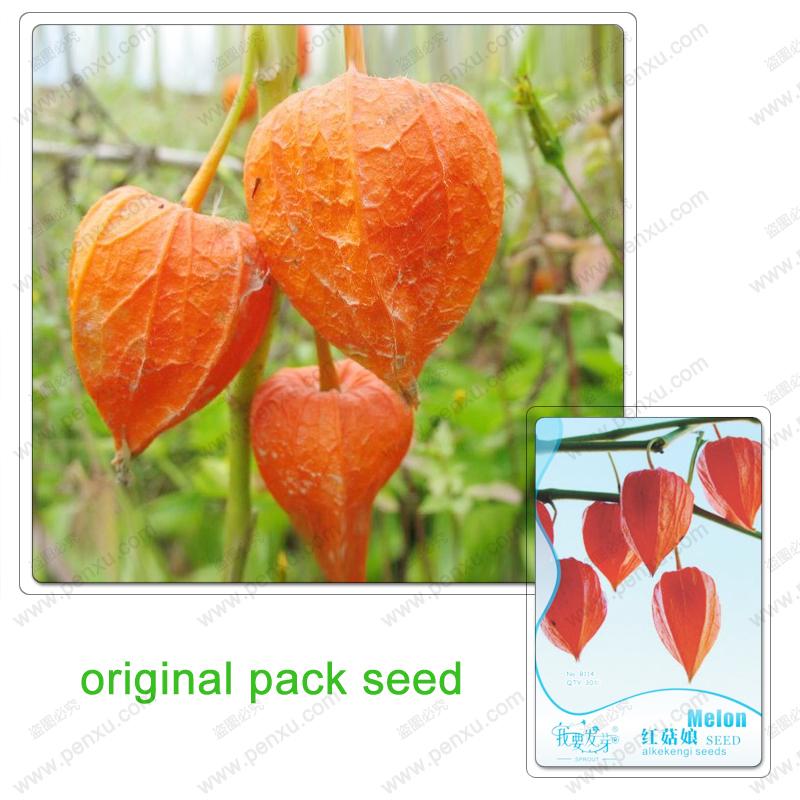 Original Pack 30 Seeds / Pack, Wild Hongguniang fruit seeds, balcony garden organic plant seed fruit lantern lantern acid slurry(China (Mainland))