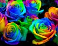 100 pcs bag Beautiful Flower Rainbow rose seed Rose Seeds
