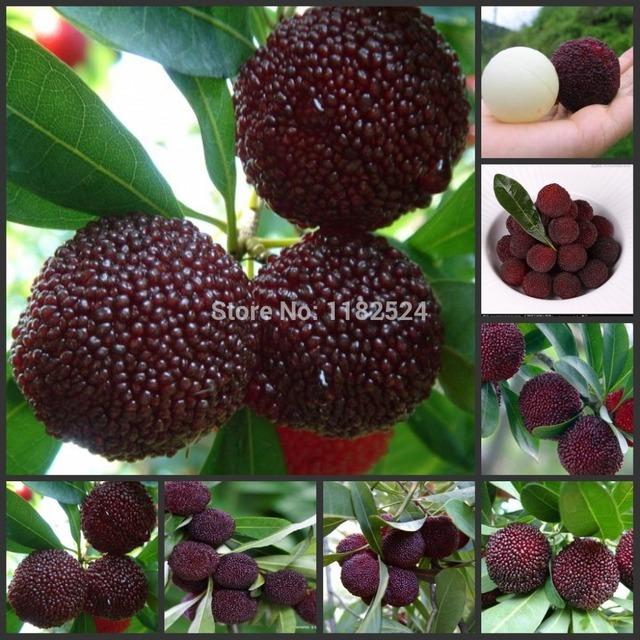 20 Seeds chinois graines noires bayberry, Graines Yangmei arbre, Fruit délicieux apéritifs