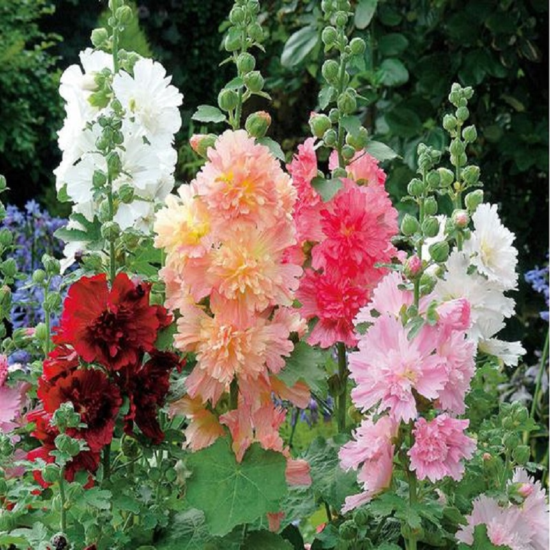 Real Sementes Factory Price Cheap New Home Garden 20 Seeds Hollyhock Country Romance Mix Alcea Rosea Flower Free Shipping(China (Mainland))