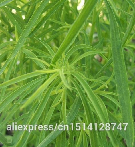 summer cypress seed,Kochia broom seedlings peacock pine ,Original Package seed about 100 particles(China (Mainland))