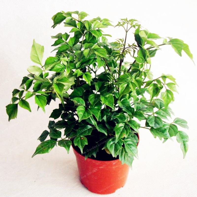 Popular indoor ivy plants buy cheap indoor ivy plants lots for No maintenance indoor plants