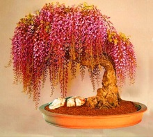 Free Shipping, 10seeds/bag Rare Gold Mini Bonsai Wisteria Tree Seeds Indoor Ornamental Plants(China (Mainland))
