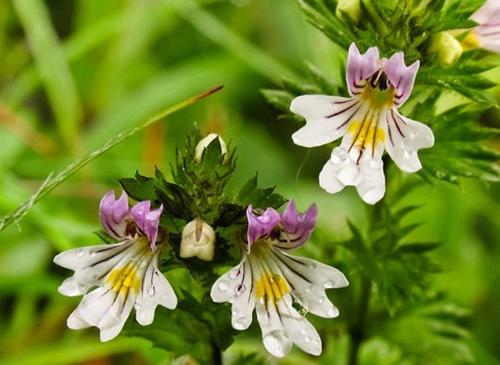 1kg 10:1 herbal Extract Millet grass extract Euphrasy extract Eyebright extract powder