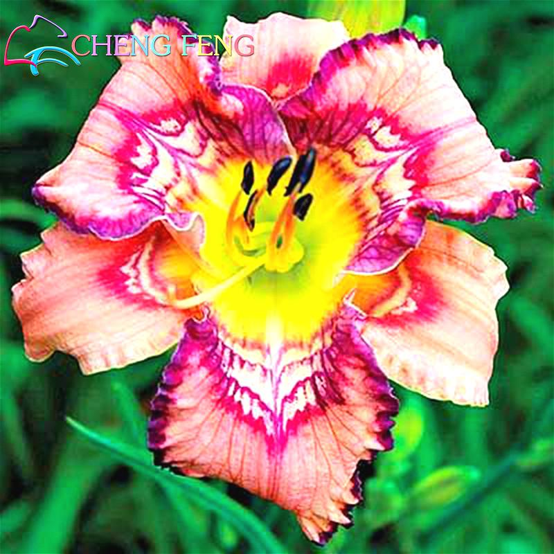Image Result For Hemerocallis Colour