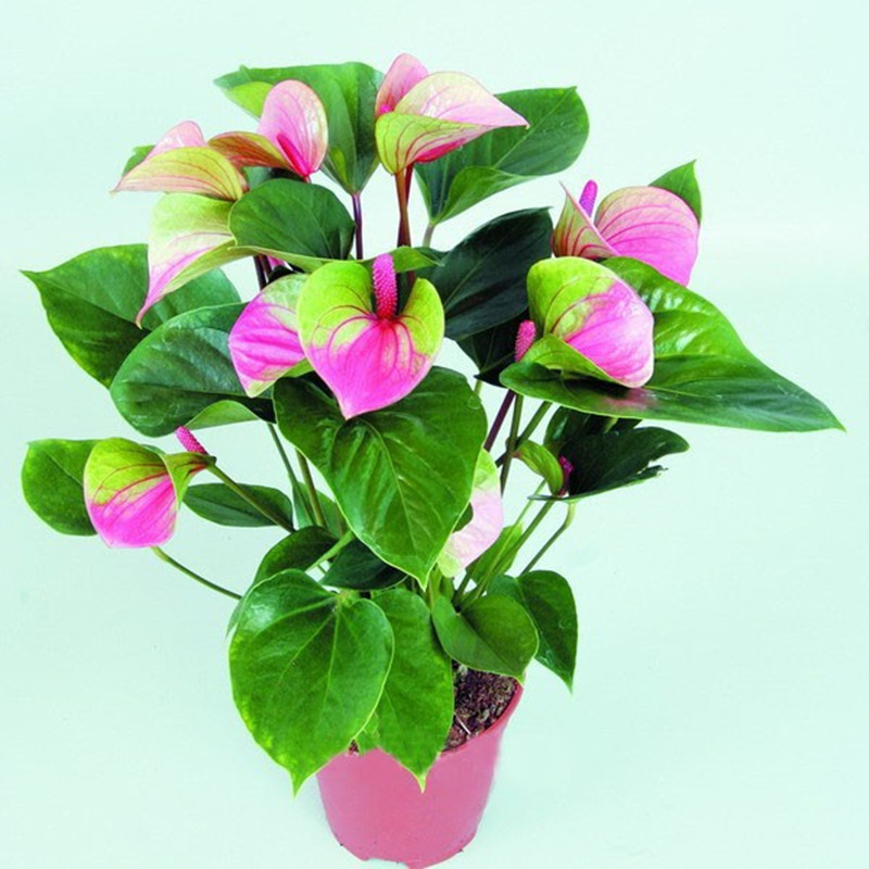 50 seeds/pack Rare Flower Seeds Pink+Green Anthurium Andraeanu Seeds Balcony Potted Flower For DIY Home Garden free shipping(China (Mainland))