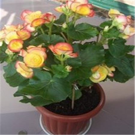 product New Arrival 12 Color 1000 mix Odorous begonia Seeds Perennial Flower Seeds for Garden in Bonsai buy 2 get 10 Rose Gift