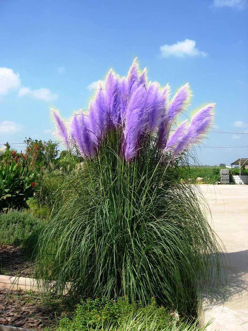 1200 seeds pampas purple ornamental grass seeds cortaderia for Tall grass with purple plumes