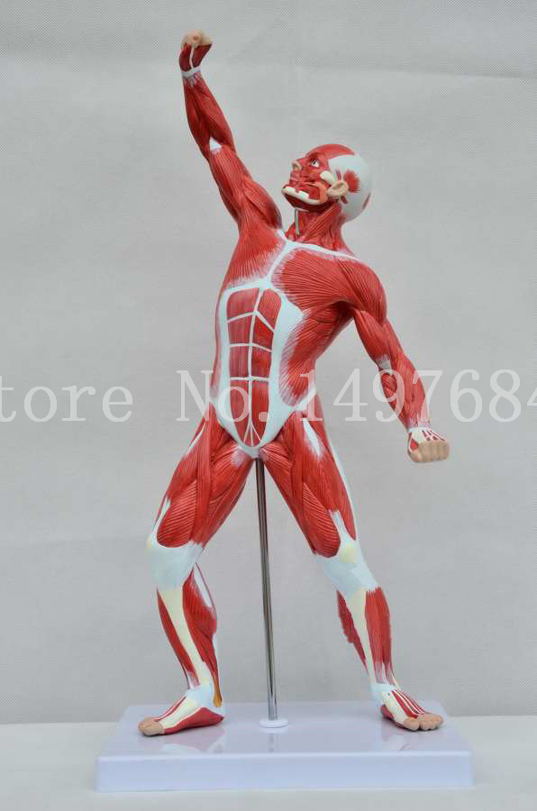 Free Shipping Medical fine arts body muscle model. Muscle model