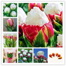 Buy True tulip bulbs (not tulip seeds) bonsai flower bulbs ice cream beautiful tulips Rizomas Bulbos Aroma potted plant 2 bulbs for $1.16 in AliExpress store