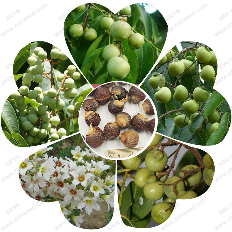 The use of high value sapindus mukorossi seeds natural soapberry tree seeds soap nuts bonsai flower seeds - 1 pcs(China (Mainland))
