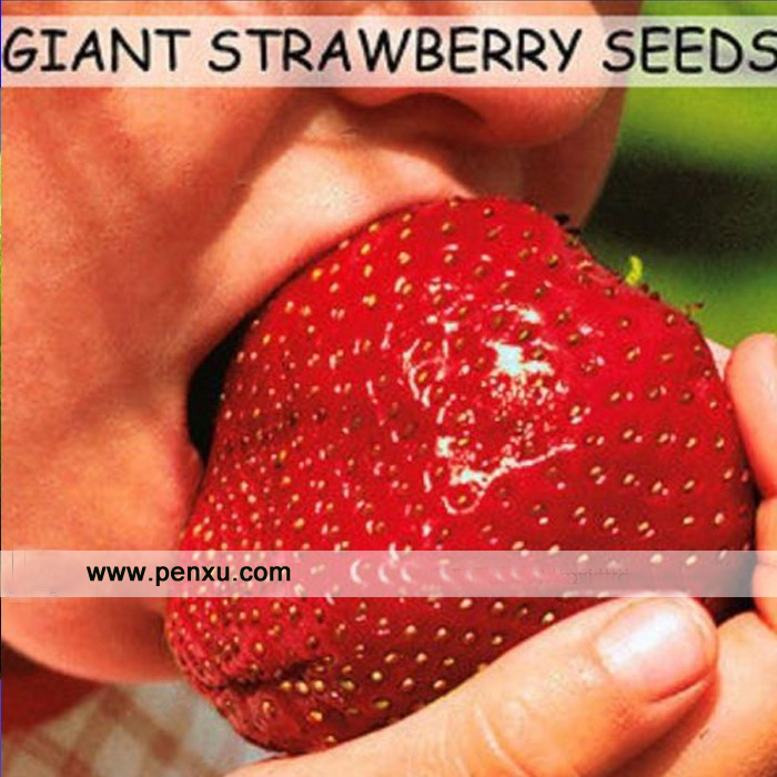 Strawberry Seeds,super Giant Strawberry Fruit Seed Apple Sized 100% True Variety NOT Fake,50 Pcs/bag(China (Mainland))