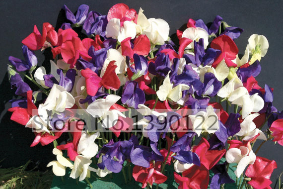 30/bag rare flower sweet pea seeds SPENCER stunning mixed color Nicely scented flower seeds for home garden decoration(China (Mainland))