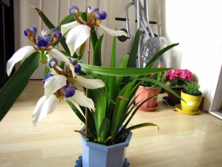 Цветок неомарика (шагающий ирис): фото, уход в домашних условиях