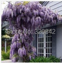 35 pcs/bag Purple Wisteria Flower Seeds for DIY home & garden plant Wisteria sinensis ( Sims ) Sweet seed Free Shipping(China (Mainland))