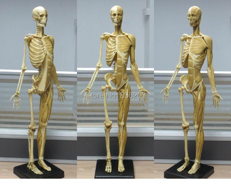 Encantador Esqueleto De La Anatomía Para La Venta Colección de ...