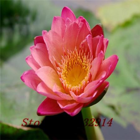Formato del fiore di loto acquista a poco prezzo formato for Vendita semi fiori