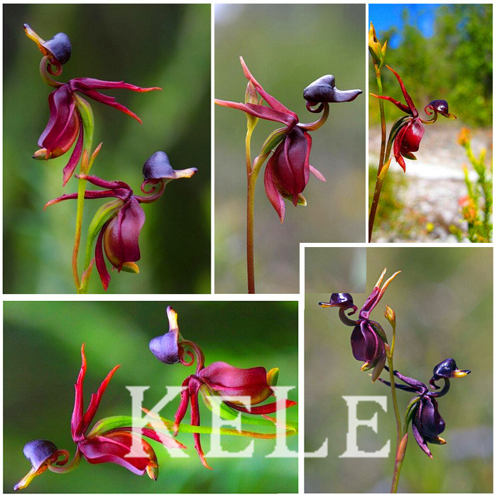 Series orchid plants seeds, flying duck orchid seeds like ducks balcony pot seeds 100 particles / bag,#O8GV9L(China (Mainland))