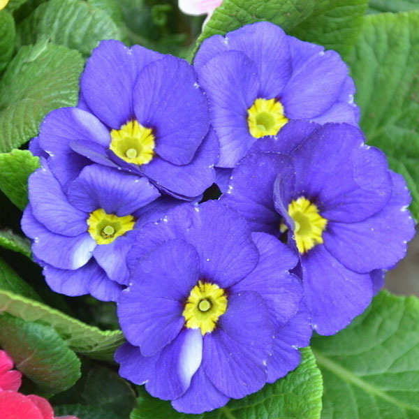 Primrose Flower Seeds Color packaging seeds about 50 particles