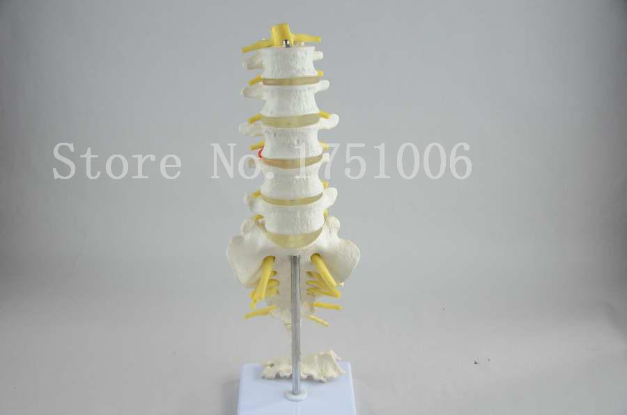 Lumbar coccygeal vertebra and spinal nerve model Spinal anatomical model<br><br>Aliexpress