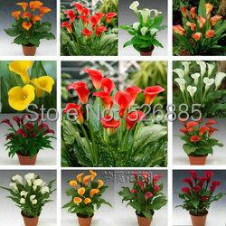 Calla lily seeds, free shipping cheap calla lily seeds, calla lily potted seed, Bonsai balcony flower - 100 pcs/bag(China (Mainland))