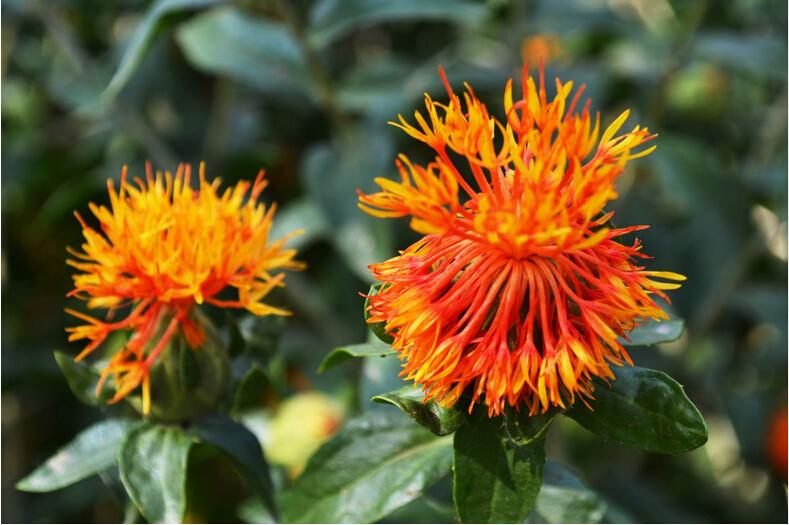 Chinese herbal medicine safflower tea*hong hua*Carthamus tinctorius L.50g,Treat headache,toothache,detoxification, decompression<br><br>Aliexpress