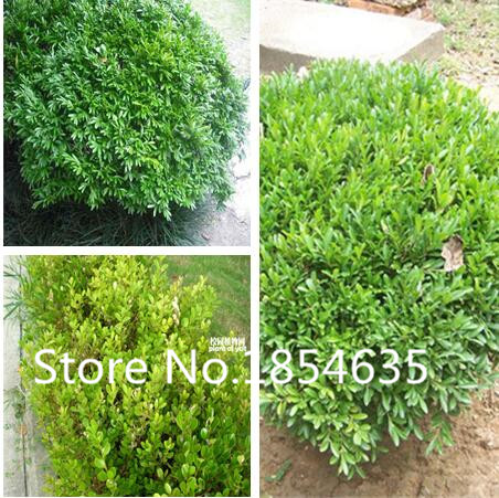 100 Pieces / lot Mini Bonsai Yellow Poplar Seeds a Good Choice For families Absorb Formaldehyde Potted Tree Chinese Boxwood Seed(China (Mainland))