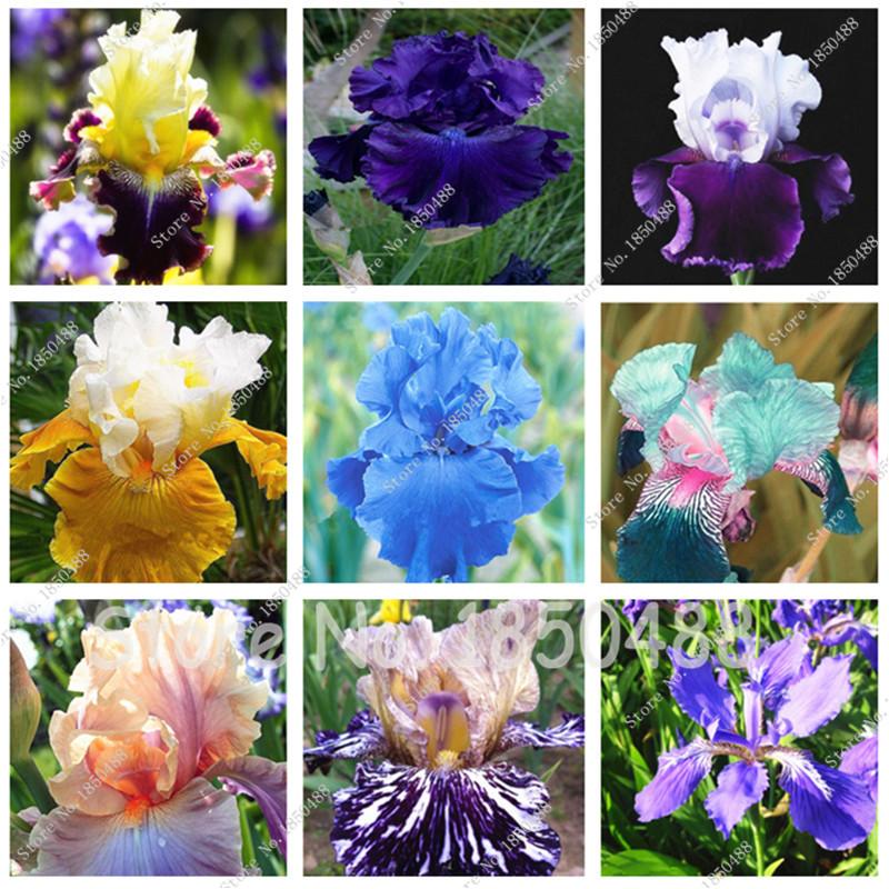 100 pcs / bag Iris Flower, Bonsai Flower Seeds, Rare Flower Seeds bearded iris seeds, Nature plants Orchid flower DIY for Garden(China (Mainland))