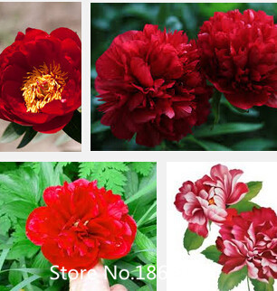 100% Wild Rose Red Peony Plant Flower Seeds, Professional Pack, 10 Seeds / Pack, Strong Fragrant Organic Seeds Flower Seeds Free(China (Mainland))