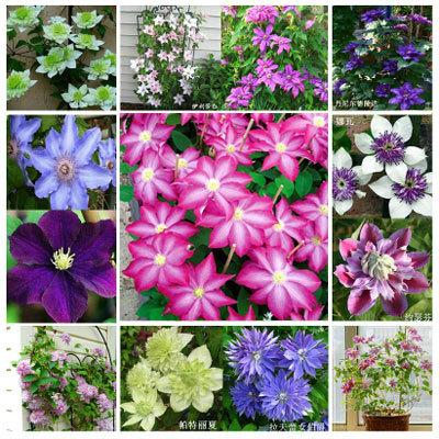 Клематис цветов цена