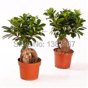 2014 New None Sementes De Flores Seeds 10/bag Banyan Tree Seeds Ficus Ginseng Bonsai Diy Home Garden free Shipping(China (Mainland))