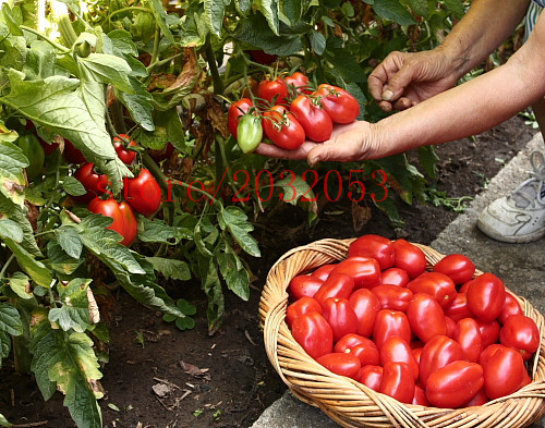 200 TOMATO seeds CC MONSTER cherry TOMATO Seeds NO-GMO vegetable seeds for home family healthy(China (Mainland))
