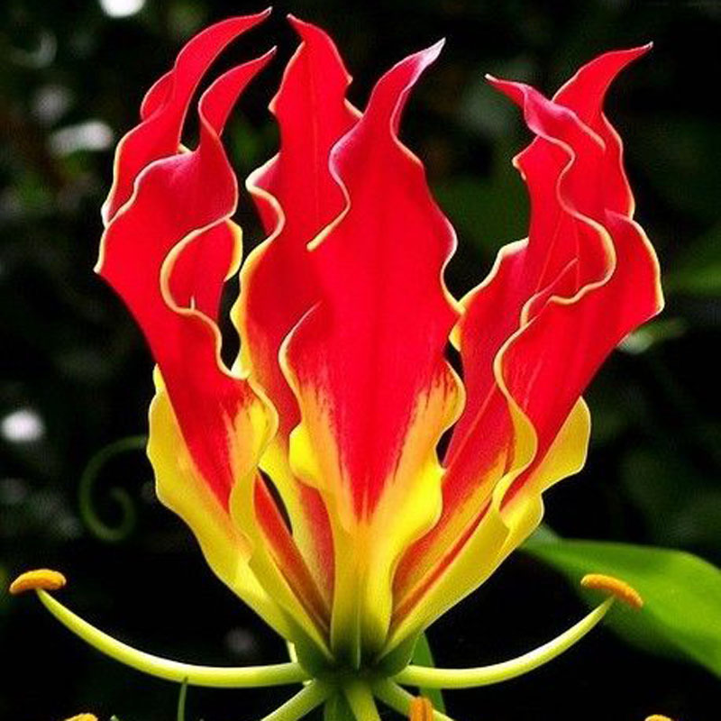 A Package 50 Pieces Garland Flame Lilium brownii Flower Seeds Balcony Bonsai Courtyard Plant Flowers Lily