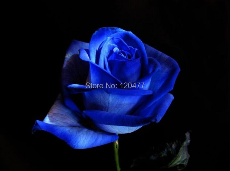 Free Shipping 50 Seeds China Rare dark blue Rose Flower