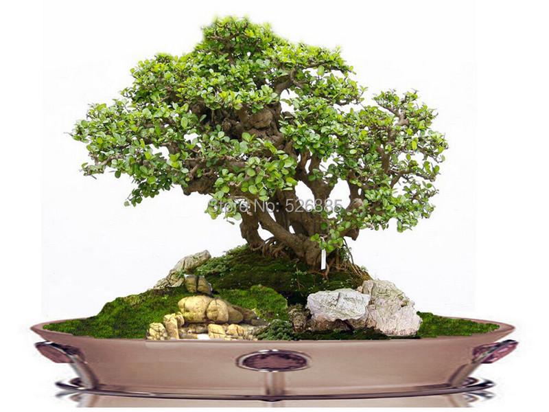 online kaufen gro handel clover plant aus china clover. Black Bedroom Furniture Sets. Home Design Ideas