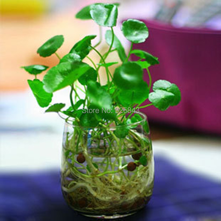 ... bonsai plant Hydrocotyle vulgaris seeds Picture in Bonsai from Garden
