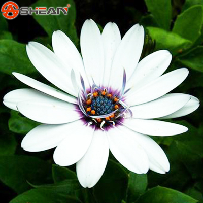 Hot Selling White Osteospermum Seeds Potted Flowering Plants Blue Daisy Flower Seeds for DIY Home & Garden - 50 PCS(China (Mainland))